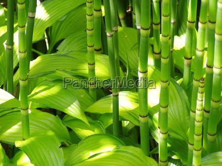 bambu y hosta