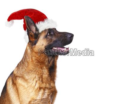 santa claus dog background