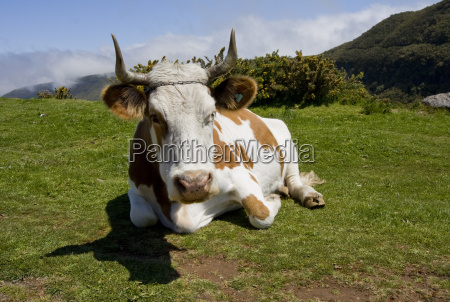 cow is on mountain pasture