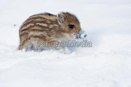 boar in the snow