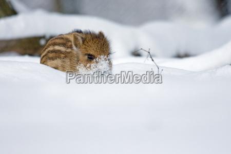 newborn in the snow