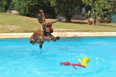 jumping cocker spaniel