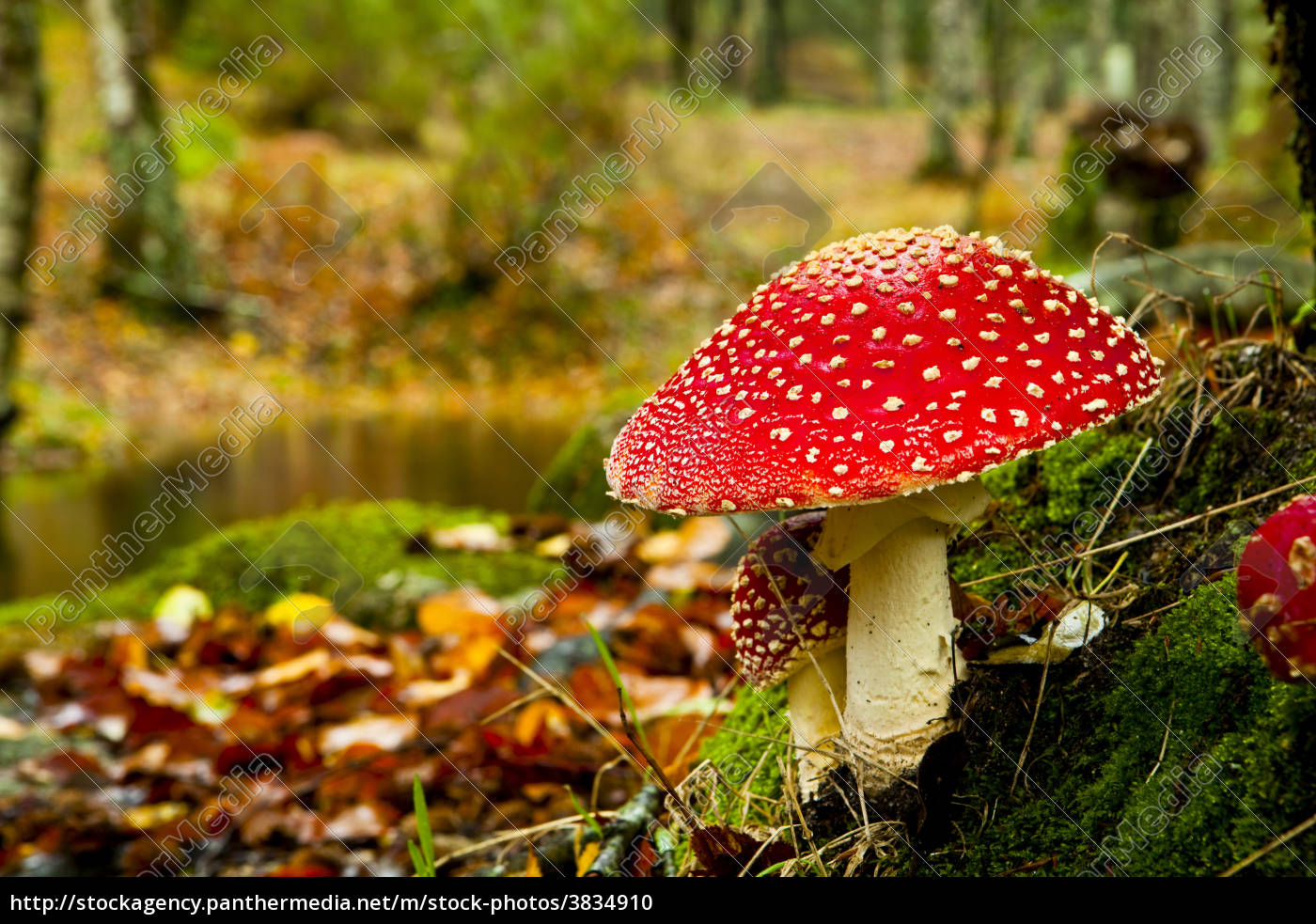 , amanita, poisonous, mushroom - 3834910