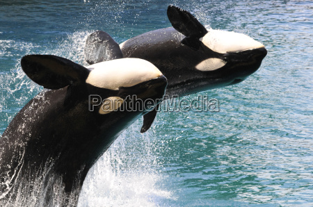 two killer whales jumping out of