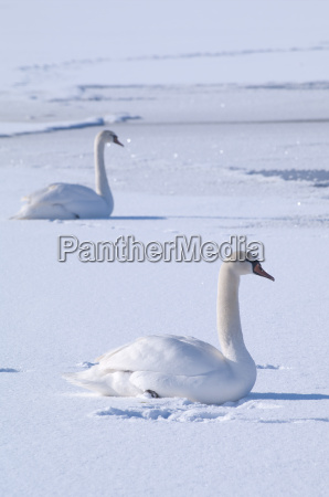 two swans on a frozen lake