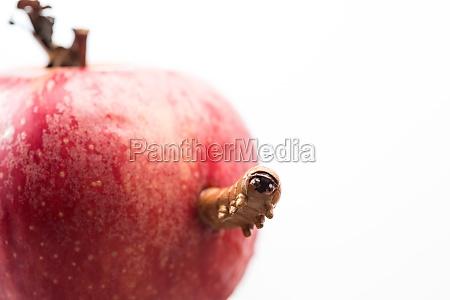 caterpillar spaeht aus apfel aus