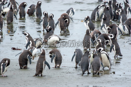 penguins standing on shore in chile