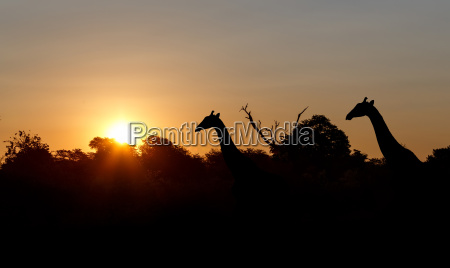 sunset and giraffes in silhouette in