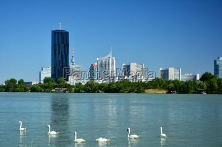 swans on the danube in vienna