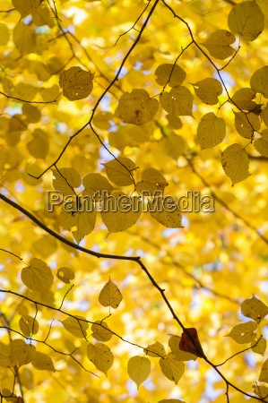 leaves in autumn colors backlight