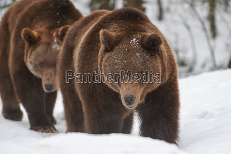 brown bear in the snow
