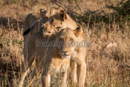 bonding lions in the kruger national