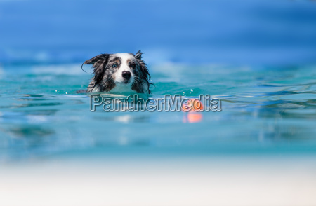 australian border collie swims