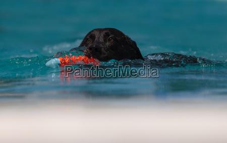 black labrador retriever swims