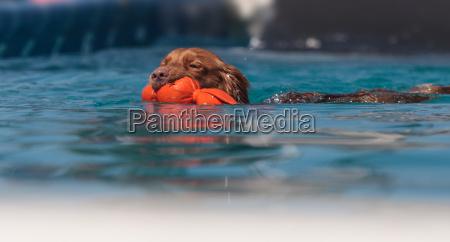 golden retriever dog swims