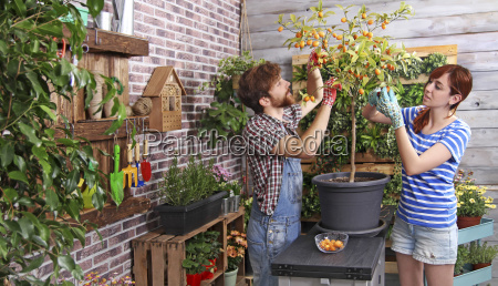 couple picking kumquats in their urban