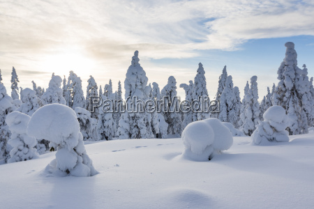 scandinavia finland rovaniemi forest trees in
