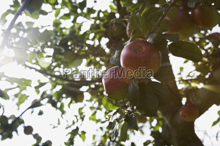 apples on tree close up lens