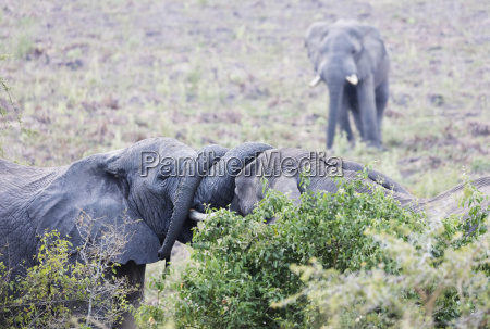 ritual greeting of african elephant