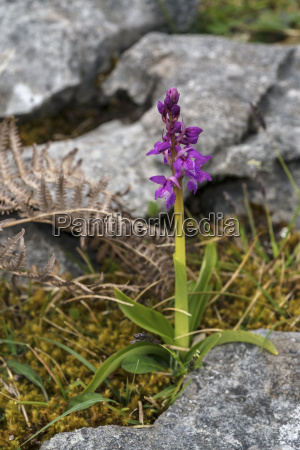 early purple orchid the burren county
