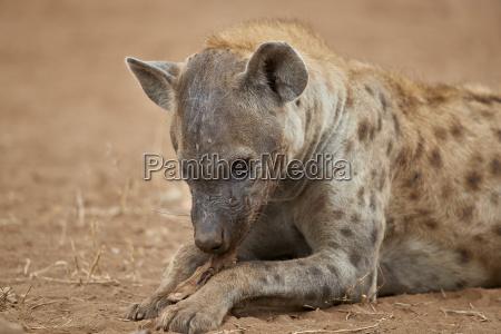 spotted hyena spotted hyaena crocuta crocuta