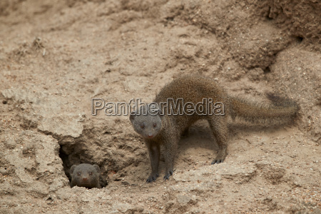 dwarf mongoose helogale parvula two at