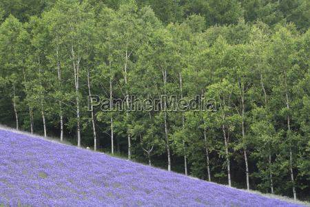 sloping field of purple flowers with