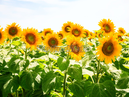 sunflower flowers under blue sky in