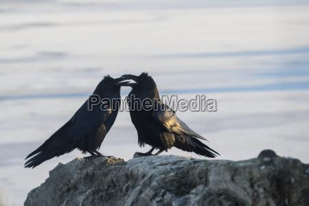 a pair of ravens corvus do
