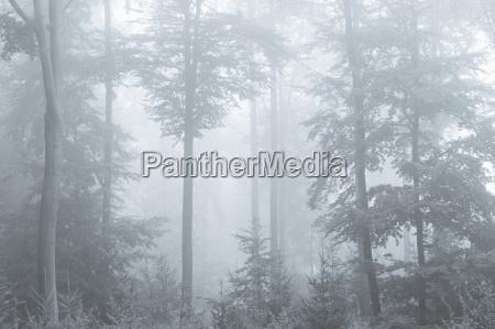beech forest on misty morning spessart