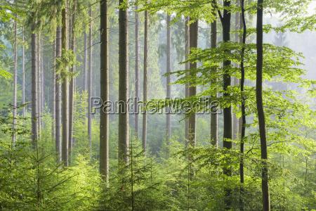 european beech fagus sylvatica forest on
