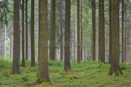 spruce forest natural regeneration odenwald hesse