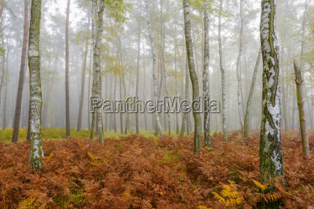 tree trunks in a birch forest