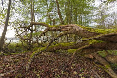 close up of old fallen oak