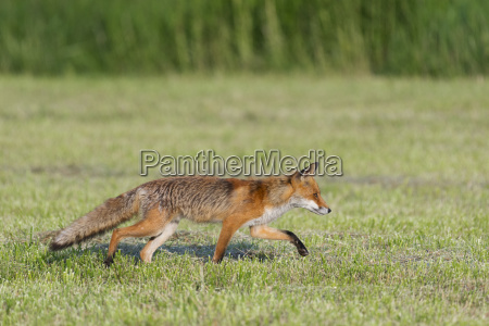red fox vulpes vulpes walking stealthily
