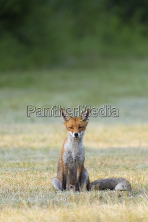 portrait of a red fox vulpes