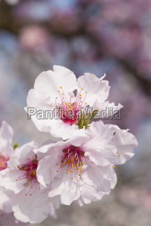 close up of pink almond blossoms