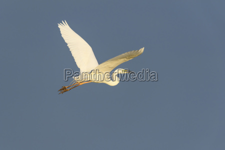 profile of great white egret ardea
