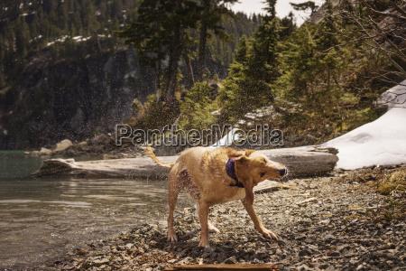 labrador retriever splashing water while standing