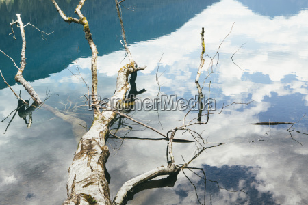 high angle view of alder tree