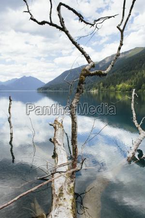 alder tree fallen on lake by