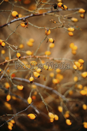 close up of yellow rose hips