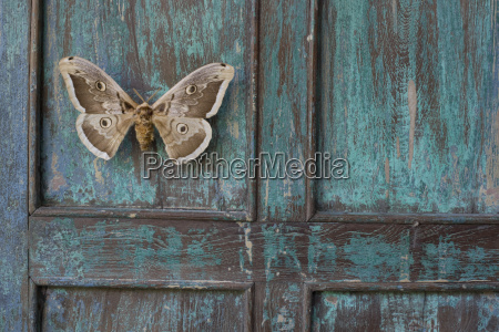 painted blue wood brown butterfly