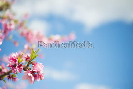 pink peach blossoms against sky close