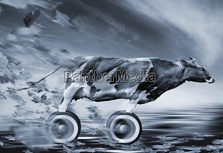 cow speeding with wheel for legs