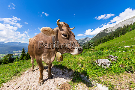 brown cow in mountain landscape