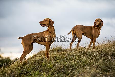 portrait, of, two, vizla, dogs, standing - 27537989
