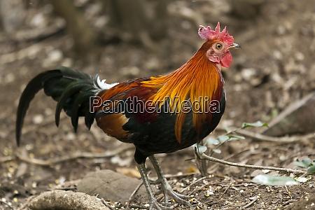 thailand kaeng krachan red junglefowl